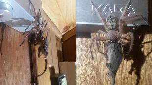 Ze ściany zwisał ogromny pająk, pożerający swą ofiarę