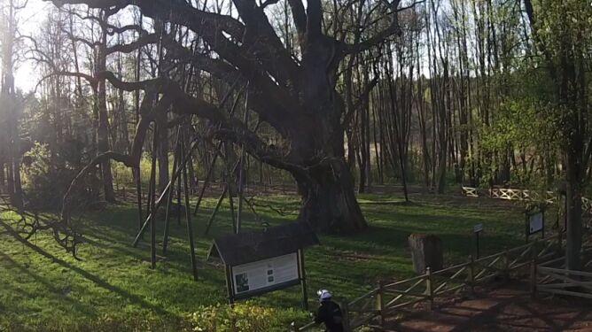 Bartek to najsłynniejszy w Polsce pomnik przyrody (fot. dabbarteknaszwspolnyznajomy.pl)